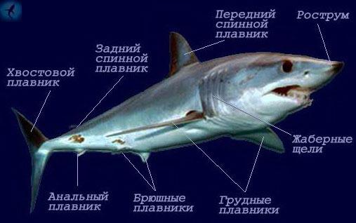 Все акулы (кроме скватиновых и