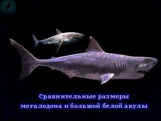 сравнительные размеры мегалодона и белой акулы