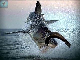 GISMETEO.RU: Ученые показали охоту глазами акулы - События ... | 240x320