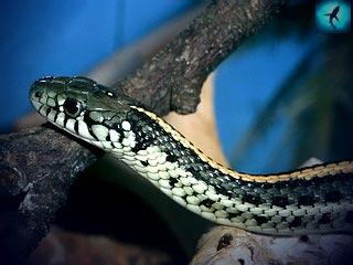 морская змея