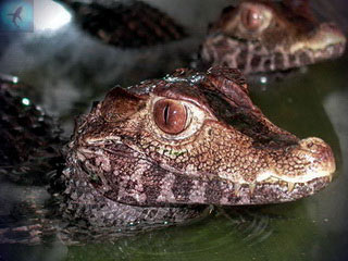 Baby dwarf crocodiles born at Crocodiles of the World