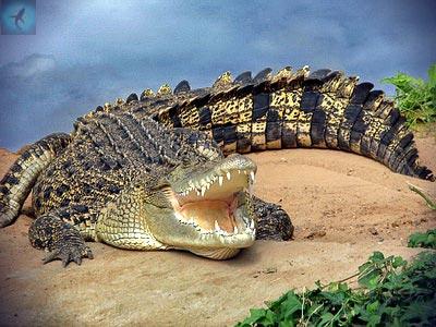 Доклад про животных о красной книги написать о гребнистый крокодил скачать реферат бесплатно туризму