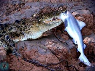http://scharks.ru/reptilia/napadenia/krokodile.jpg