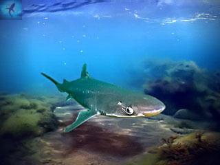 Акула катран в Черном море
