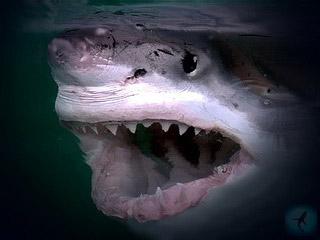Атака большой белой акулы