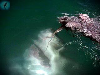большая белая акула - кархародон