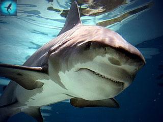 Акула-бык, тупорылая акула, бычья акула или лохань-голова.