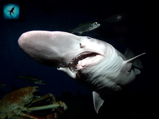 Крымские рыбаки выловили акулу-гоблина.