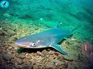 Squalus acanthias).  Обыкновенная колючая акула или катран.