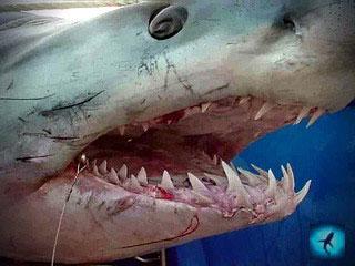 голова акулы мако
