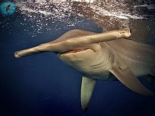 Акула молот кажется людям странным созданием, особенно из-за формы...