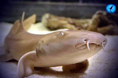 фото акулы няньки