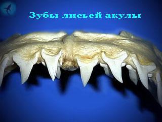 талисман зуб акулы